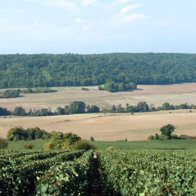 Pinot Meunier vineyards in Vallée de la Marne