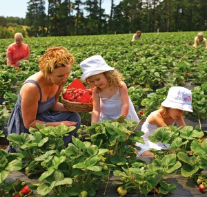 Picking strawberries at Sunny Ridge Strawberry